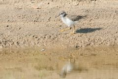 Spotted Sandpiper - Actitis macularius. A young Spotted Sandpiper walks in the sand along the edge of the water. Hanlan`s Point, Toronto, Ontario, Canada royalty free stock images