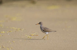 Spotted Sandpiper royalty free stock images