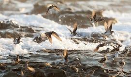 Spotted Sandpiper bird, Costa rica coast Royalty Free Stock Photo