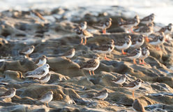Spotted Sandpiper bird, Costa rica coast Royalty Free Stock Photos