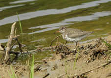 Spotted Sandpiper Stock Images