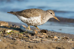 Spotted Sandpiper Royalty Free Stock Photography