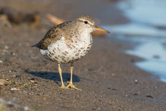 Spotted Sandpiper Royalty Free Stock Image