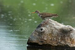 Spotted Sandpiper - Actitis macularius. Spotted Sandpiper perched on a petrified log. Rouge National Urban Park, Toronto, Ontario, Canada Stock Photography