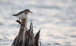 Spotted Sandpiper on a Post Royalty Free Stock Image