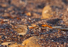 Spotted Sandpiper on sand Royalty Free Stock Photography