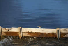 Spotted Sandpiper Stock Photos