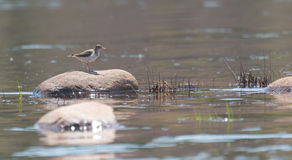 Spotted Sandpiper standing, sunning himself on a shoreside rock. Stock Images