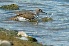 Spotted Sandpiper Stock Photo