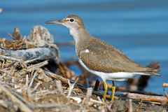 Spotted Sandpiper Stock Photography
