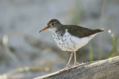 Spotted Sandpiper walking along a piece of driftwood Royalty Free Stock Image