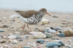 Spotted Sandpiper royalty free stock photo