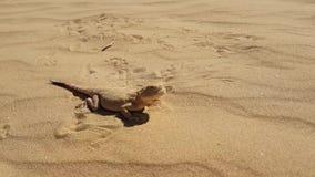 Spotted sapo-dirigió el Agama en la arena metrajes