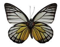 Spotted Sawtooth Butterfly Stock Photo