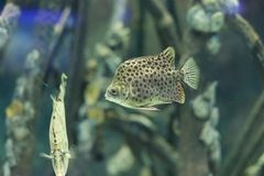 Spotted scat fish. The image of Spotted scat fish in an aquarium in Thailand Stock Photos