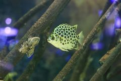 Spotted scat fish. The image of the tropical marine fish the spotted scat fish Royalty Free Stock Photos