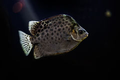 Spotted scat fish, Scatophagidae. River fish Royalty Free Stock Photo