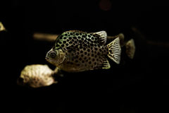 Spotted scat fish, Scatophagidae. Thailand,river fish Stock Images