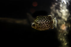 Spotted scat fish. Thailand river fish Royalty Free Stock Photos