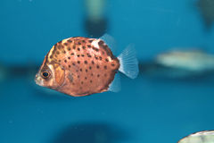 Spotted scat (Scatophagus argus) saltwater aquarium fish. Spotted scat or spotted butter fish (Scatophagus argus) saltwater aquarium fish Stock Photo