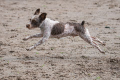 Spotted Schnauzer running Royalty Free Stock Photos