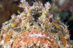 Spotted Scorpion Fish. Macroshot of the face of a Spotted Scorpion Fish(Scorpaena plumieri Royalty Free Stock Image