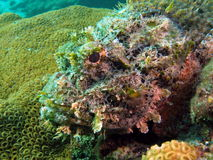 Spotted Scorpionfish. Head shot of a spotted scorpionfish Stock Photos
