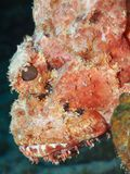 Spotted scorpionfish Stock Images