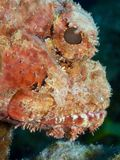 Spotted scorpionfish Royalty Free Stock Images