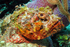 Spotted Scorpionfish. Close-up of a Spotted Scorpionfish (Scorpaena Plumieri), Cozumel, Mexico Stock Photos