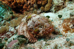 Spotted Scorpionfish -Cozumel Royalty Free Stock Photography