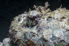 Spotted Scorpionfish Royalty Free Stock Photography
