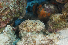 Spotted Scorpionfish Waiting to Ambush its Prey - Bonaire Royalty Free Stock Photography