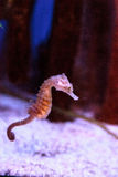 Spotted seahorse Hippocampus kuda Stock Images