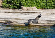 Spotted seal lies on the shore near the water in the aquarium in Valencia, Spain royalty free stock photography