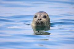 Spotted Seal Royalty Free Stock Photo