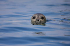 Spotted Seal Royalty Free Stock Image