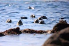 Spotted Seal. (Phoca largha) in Hokkaido, Japan Royalty Free Stock Image