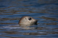 Spotted Seal. (Phoca largha) in Hokkaido, Japan Royalty Free Stock Photography