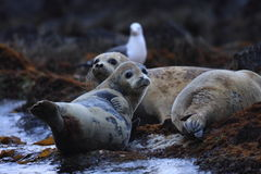 Spotted Seal. (Phoca largha) in Hokkaido, Japan Royalty Free Stock Images