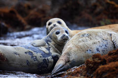 Spotted Seal Stock Photography