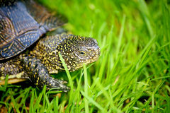 Spotted, semi-aquatic turtle crawling on green grass Stock Image