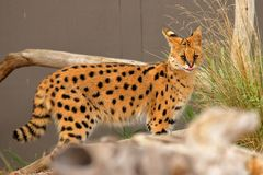 Serval - Lepitailurus Royalty Free Stock Photography