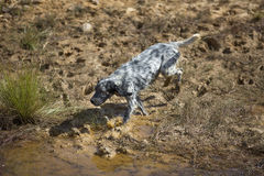 Spotted setter near pond Stock Images