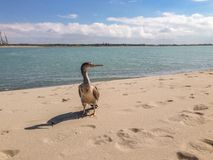 Spotted shag at beach near Christchurch, South Island, New Zealand royalty free stock photo