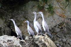 Spotted shag colony Stock Photography