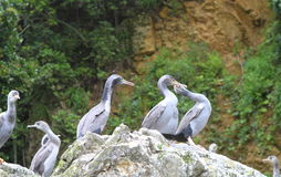 Spotted shag colony Stock Photo