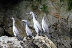 Spotted shag colony Stock Images