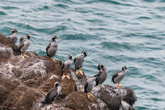 Spotted shags on cliff ledge Stock Photo