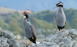 Spotted Shags. NZ Royalty Free Stock Photography